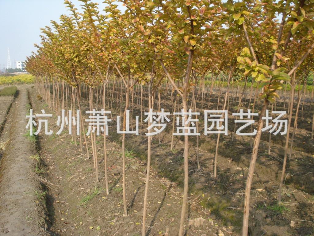 紫薇 绿化苗木 苗圃 园艺 园林公司 苗木批发