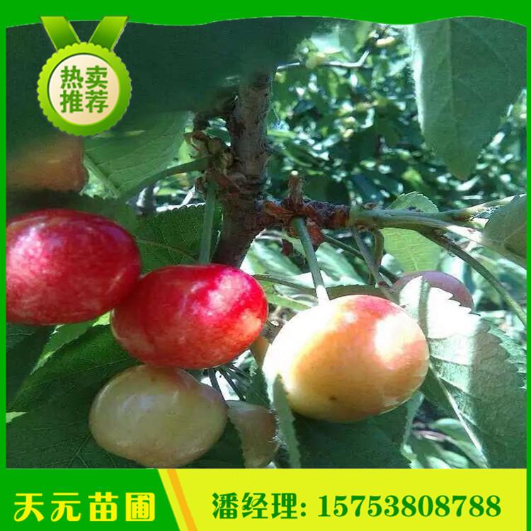 基地出售矮化樱桃苗 吉塞拉矮化樱桃苗 成活率高樱桃苗