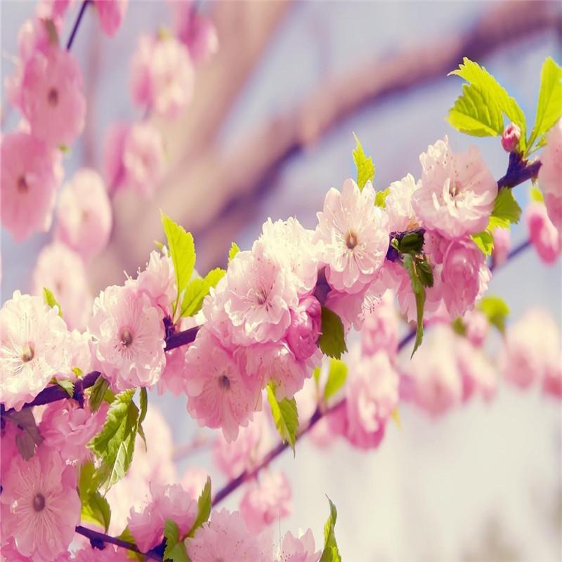大量出售园林绿化樱花苗 大小规格高杆樱花 基地直销速生樱花苗