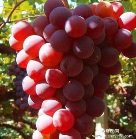 基地出售葡萄苗 优质葡萄苗 品种齐全葡萄苗 价格优惠现挖现卖