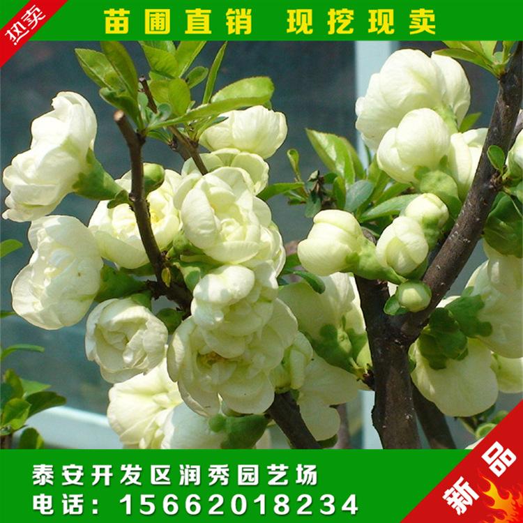 现挖现卖 日本海棠苗 红花海棠花苗 出售 海棠苗