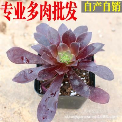 小全园艺 多肉植物批发【紫羊绒】4-6cm带盆发货
