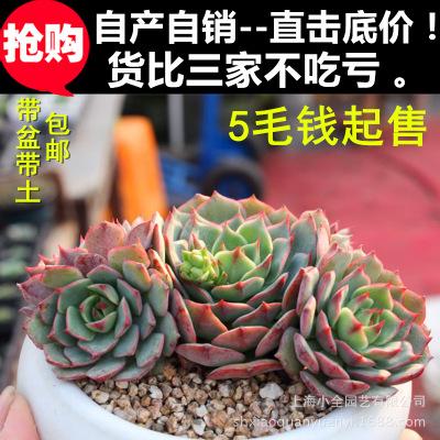 上海小全多肉批发 特卖【多款可选】多肉植物盆栽批发