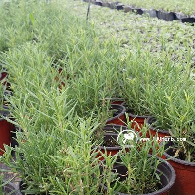 产地直销低价优质常绿提神可食用芳香植物直立迷迭香小盆栽批发