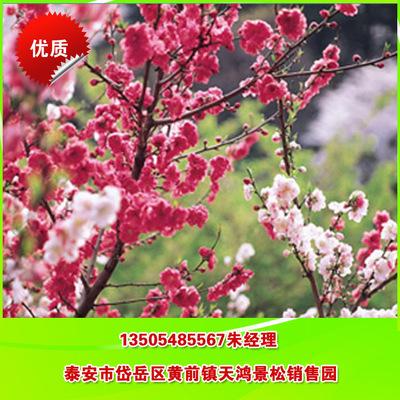 绿化樱花 直销日本樱花 晚樱花 专业培育樱花