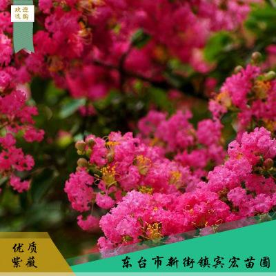 红色紫薇观赏花木 绿林防护欢迎选购 园林花木