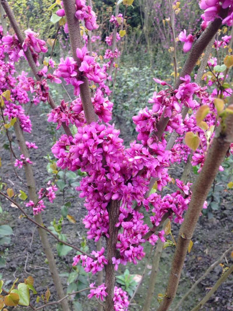 新型园林-绿化苗木落叶灌木丛生紫荆,满条红,落叶灌木