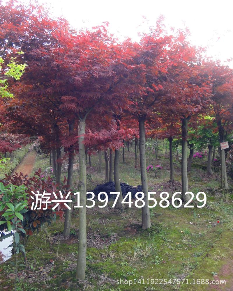 落叶灌木 红枫 观赏花木 新型建材网 新型园林